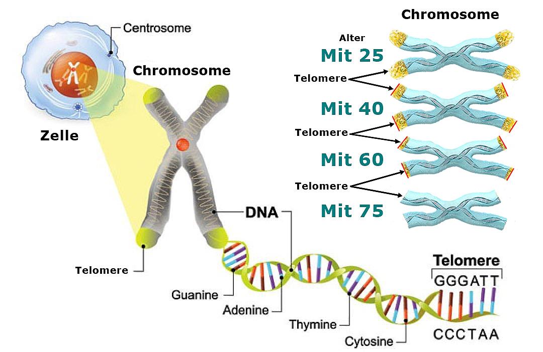 Telomere Altern